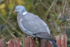 Pigeon_Ramier-05