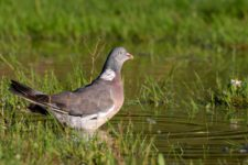 Pigeon_Ramier-17