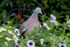 Pigeon_Ramier-01