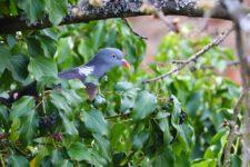 Pigeon_Ramier-10