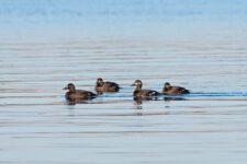 The,Velvet,Scoter,(melanitta,Fusca),,Also,Called,A,Velvet,Duck,