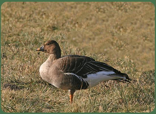 Taiga Bean Goose