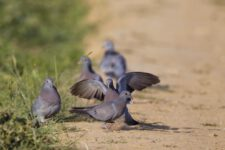 pigeon-colombin-7