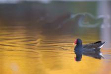poule-eau_16