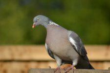 Pigeon_Ramier-19